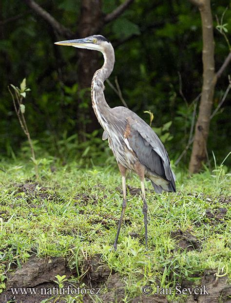 Ardea herodias Pictures, Great Blue Heron Images, Nature