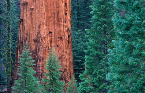 Giant Sequoia - American Forests