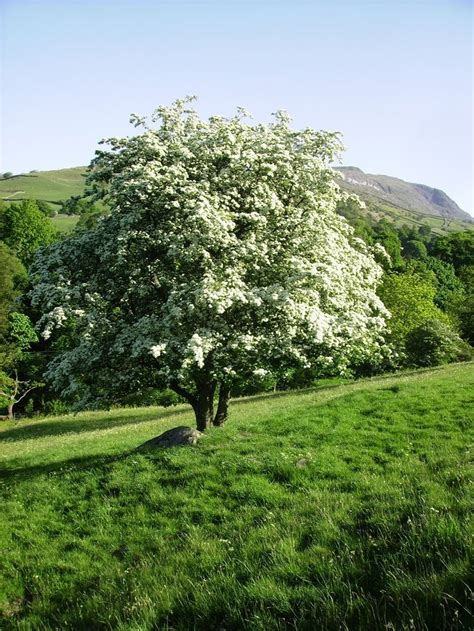 162 best images about Crataegus on Pinterest | Trees