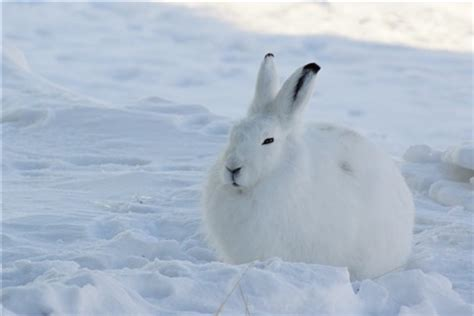 Arctic Hare: Muktuq: Galleries: Digital Photography Review
