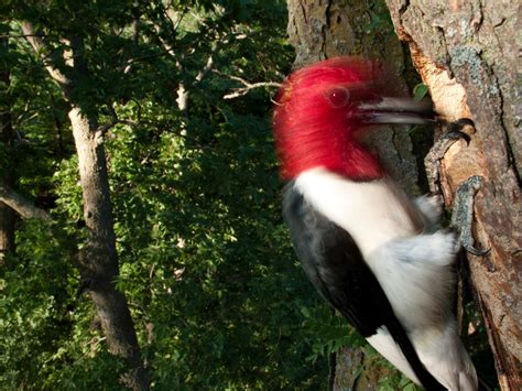 Why Woodpeckers Don't Get Headaches