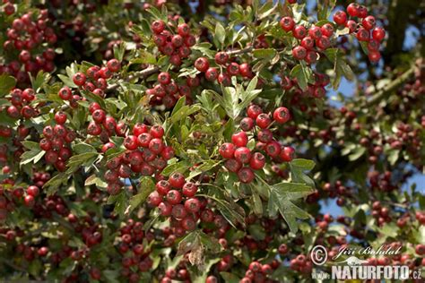 Common Hawthorn Photos, Common Hawthorn Images, Nature